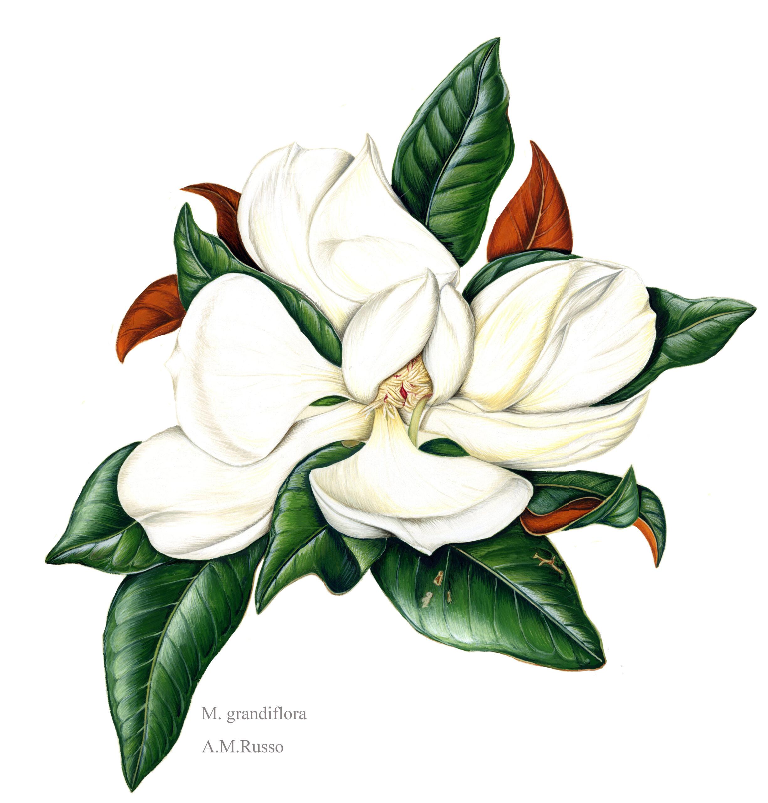 Grandiflora magnolia disegni
